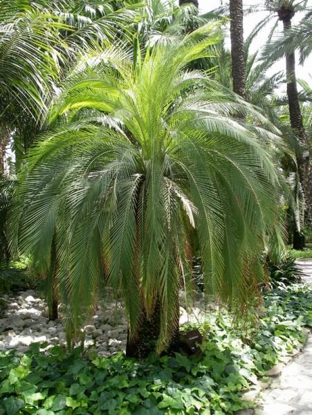 Macrozamia moorei / Palmfarn