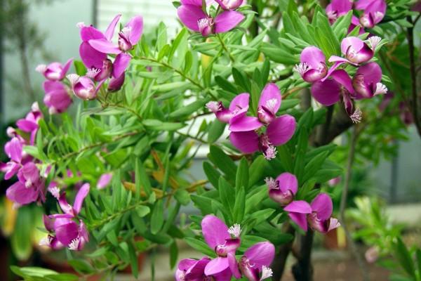 Polygala myrtifolia / Kreuzblume