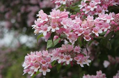 Kolkwitzia amabilis / Perlmuttstrauch