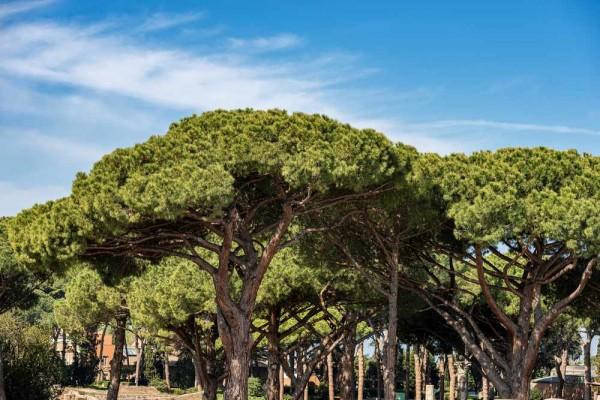 Pinus pinea / Italienische Steinkiefer