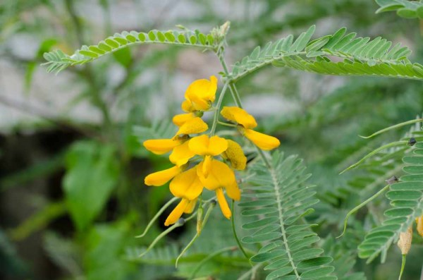 Sesbania javanica / Gelbe Wisterie