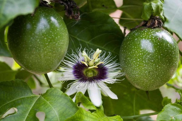 Passiflora flavicarpa / Maracuja Passionsblume