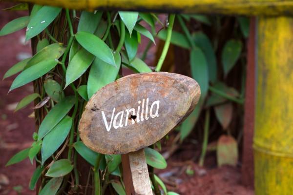 Vanilla planifolia / Echte Vanille Pflanze