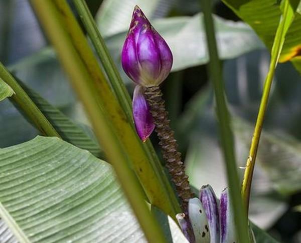 Musa itinerans Burmese Blue / Burmesische blaue Banane