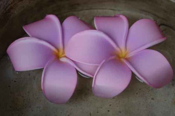 Schwimmblüte Plumeria pink-violett-gelb Nr. 56