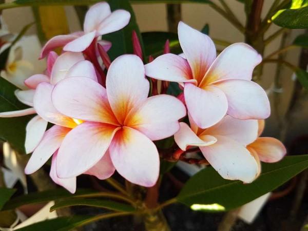 Plumeria Honolulu / Frangipani