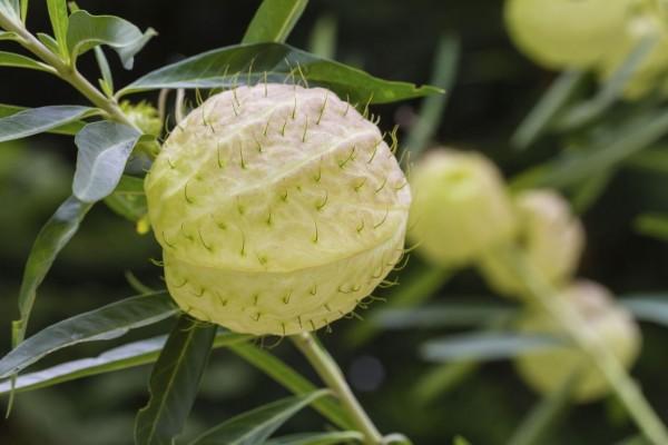 Gomphocarpus physocarpus / Ballonpflanzen / Seidenpflanze