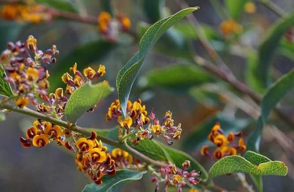 Daviesia latifolia / Bitter Pea / Hopfenbittererbse