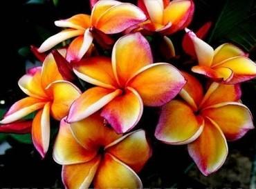 Plumeria Paradise / Frangipani