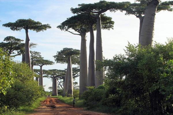 Adansonia madagascariensis / Baobob
