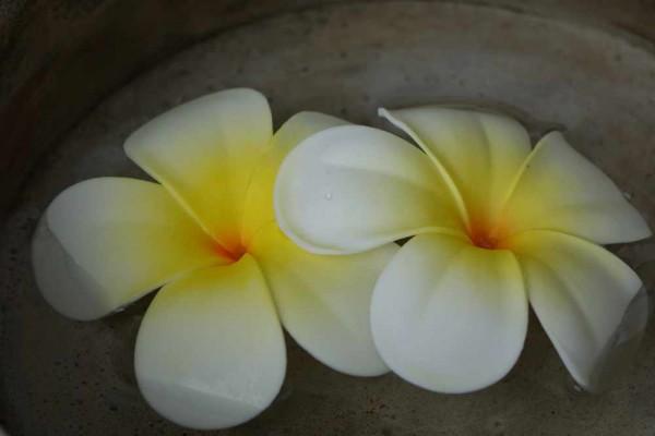 Schwimmblüte Plumeria weiss-gelb