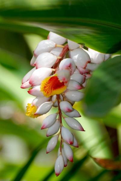 Alpinia zerumbet / Muschelingwerpflanze