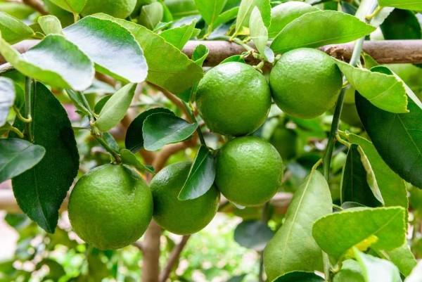 Citrus aurantifolia / Echte-Limette / Mexikanische Limette