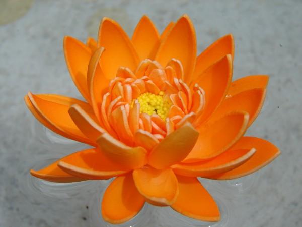 Schwimmblüte Lotus orange