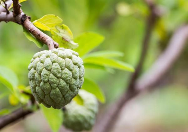 Annona squamosa / Zimtapfel