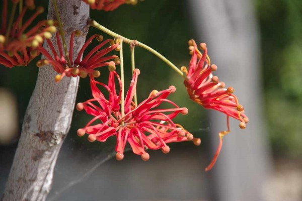 Stenocarpus sinuatus / Feuerradbaum