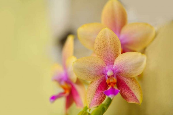 Liodora / Schmetterlingsorchidee
