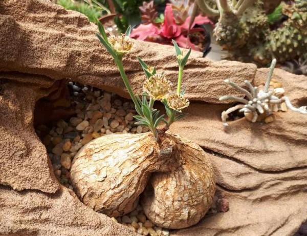 Euphorbia trichadenia / Kaudex