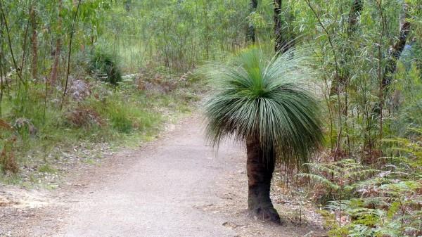 Xanthorrhoea australis / Australischer Grasbaum