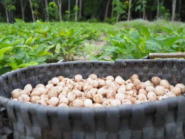 Vigna subterranea / Erderbse / Bambara-Erdnüssen