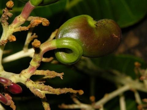 Anacardium excelsum / wilde Cashew / Espavé