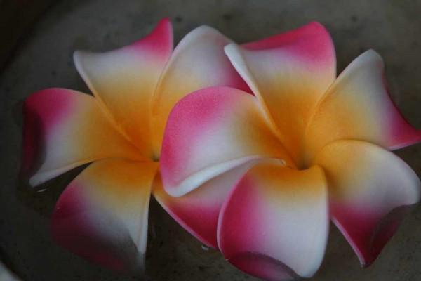 Schwimmblüte Plumeria Dean pink-weiss-gelb Nr. 3113