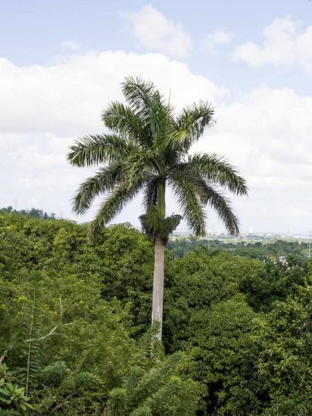 Roystonea regia / Kubanische Königspalme