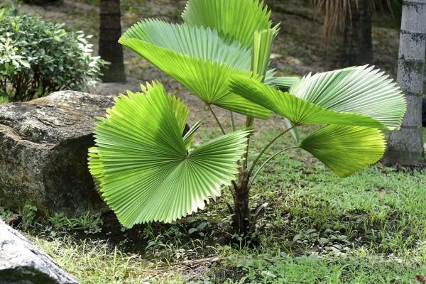 Licuala grandis / Vanuatu-Strahlenpalme