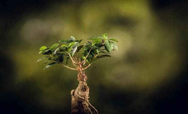 Ficus Microcarpa / Lorbeerfeige / Chinesische Feige