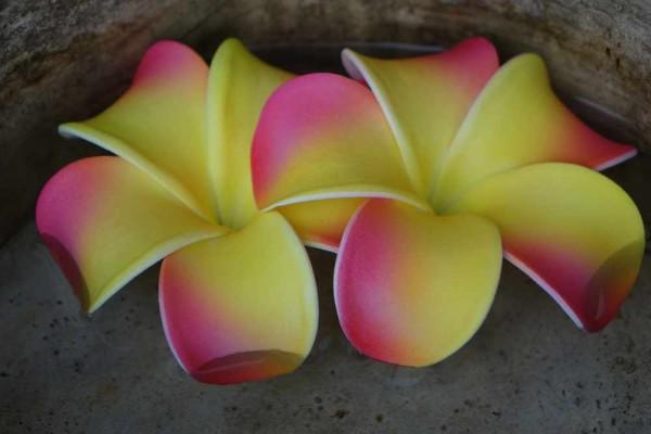 Schwimmblüte Plumeria Dean pink-gelb Nr. 3115