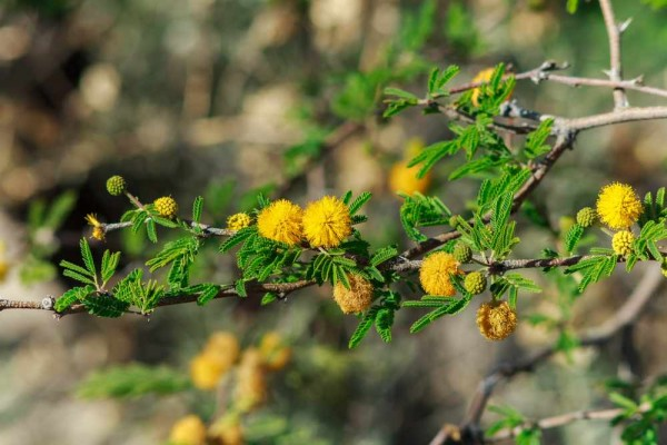 Acacia karroo / Vachellia Karroo