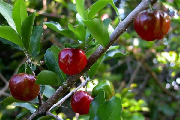 Malpighia glabra / Barbados-Kirsche