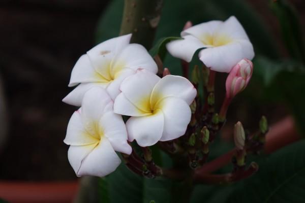 Plumeria Mini White / Frangipani
