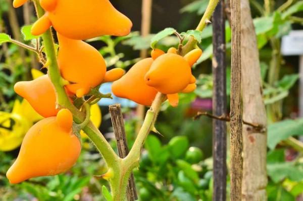 Solanum mammosum / Nippelfrucht / Kuheuterpflanze