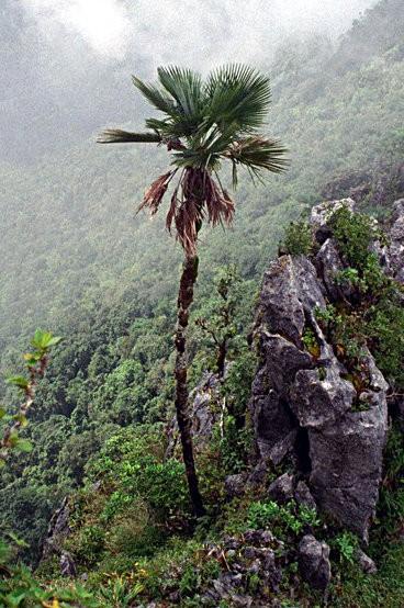 Trachycarpus oreophilus 'Naga Hills / Manipur / Saramati Palme