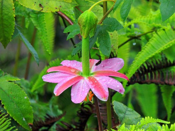 Passiflora mollissima / Passionsblume
