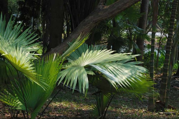 Pritchardia pacifica / Fidji-Fächerpalme