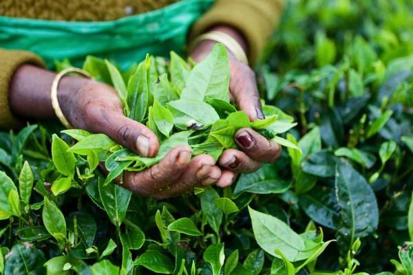Camellia sinensis / Teepflanze