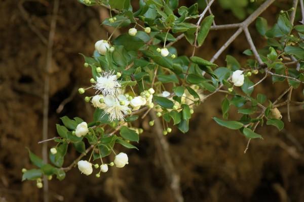 Luma apiculata / Myrtus luma / Arrayan