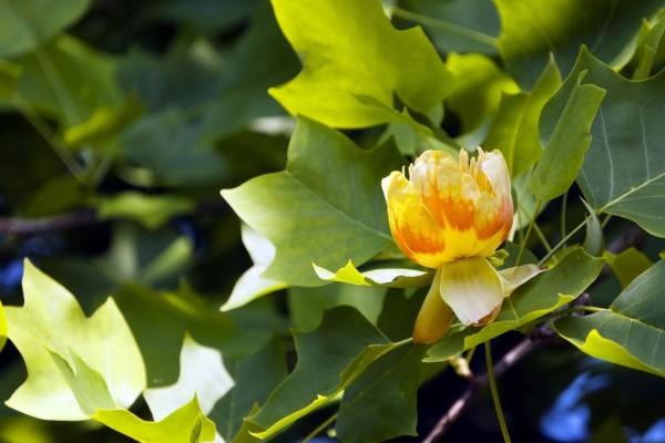 Liriodendron tulipifera / Tulpenbaum