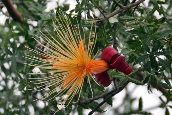 Adansonia suarezensis / Afffenbrotbaum / Suarez Baobab