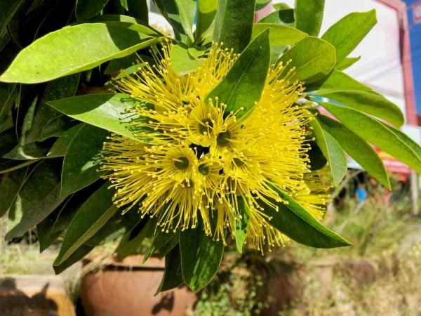 Metrosideros thomasii yellow / gelber Eisenholzbaum
