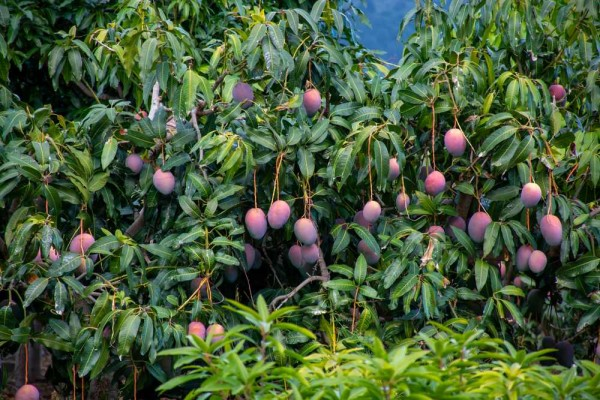 Mangifera indica / Indische Mango