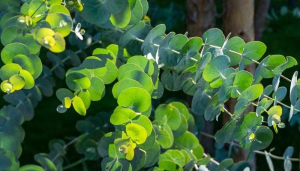 Eucalyptus gunni Azura / blauer Eukalyptus Baum