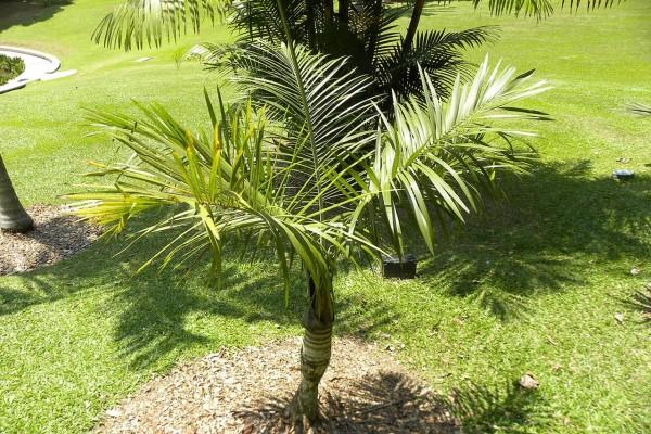 Gaussia maya / Maya-Palme
