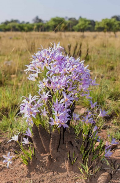 Xerophyta retinervis / Black-stick Lily