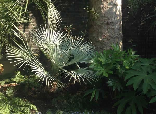 Chamaerops humilis var. cerifera / Blaue Zwergpalme