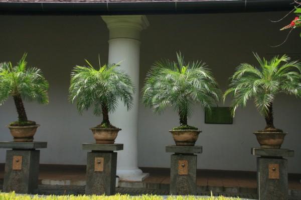 Phoenix roebelenii / Zwerg Dattelpalme Pflanze