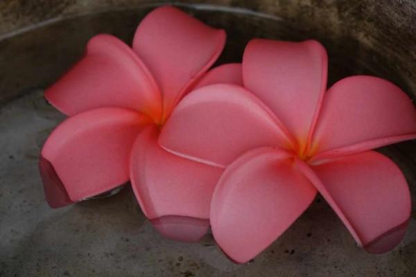 Schwimmblüte Plumeria rosa-orange Nr. 66