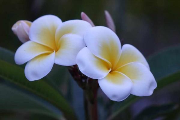 Plumeria Doungamon / Frangipani